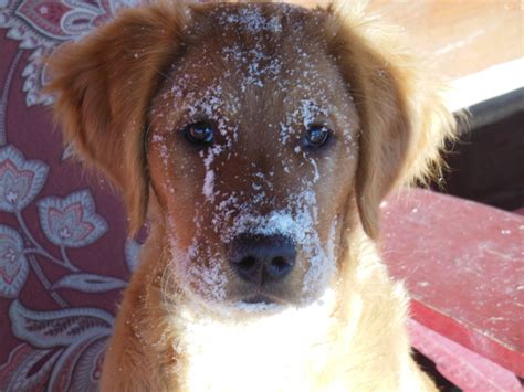 winter ridge golden retrievers new owner photos snowy ridge golden retriever michigan puppies breeder