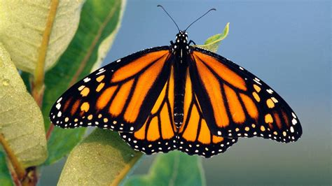 the monarch of the monarch butterfly studies tell a perplexing tale science
