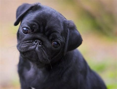 photos of black pugs 448 best black pug puppies images on black pug puppies black pug puppy