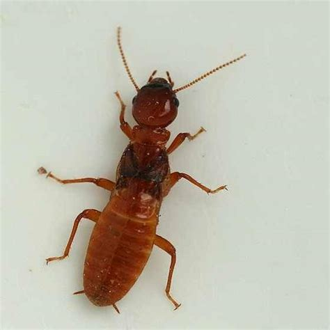 Ants With Wings In Bathroom Are These Small Brown Insects Sometimes With Wings Termites Quora