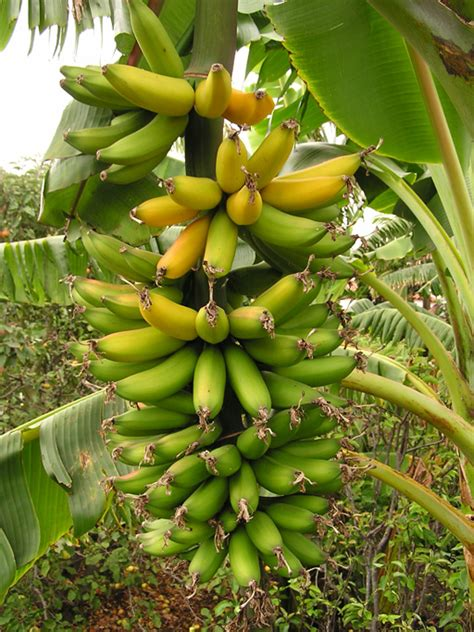 how often do banana trees fruit picking when green spreads out the harvest who wants to