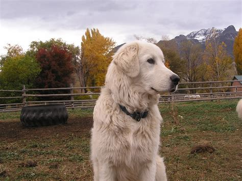 livestock guardian breeds livestock guard puppies breeds picture