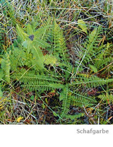 Unkraut Auf Dem Rasen 6790 by Schafgabe Bek 228 Mpfen Das Hift Den Pflanzen Weiter