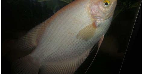 Bibit Ikan Gurame Padang dunia ikan gurame padang