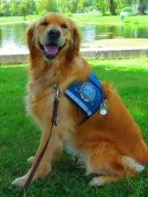 Comfort Retreiver Dogs Are Good Medicine For Veterans I Love My Golden