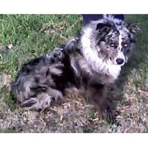 australian shepherd puppies kentucky bakers australian shepherds australian shepherd breeder in greenville kentucky