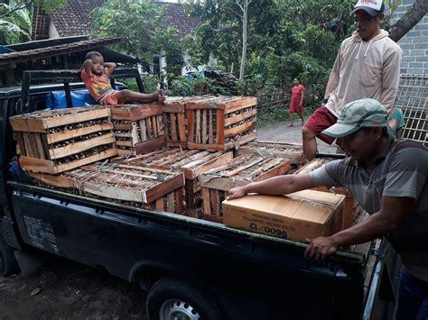 Bibit Buah Samarinda pengiriman bibit rumput odot ke samarinda 50 000 stek