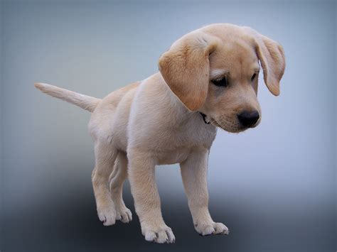 how much puppy food to feed lab puppies feeding your labrador puppy food smart