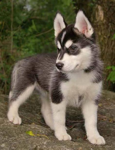 mini husky puppies 25 best ideas about mini siberian husky on mini huskies husky pups and