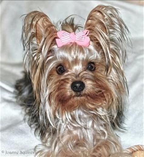 what is the best yorkie terrier shoo out there and condistioner yorkshire terrier dogs yorkshire terrier dog breed info