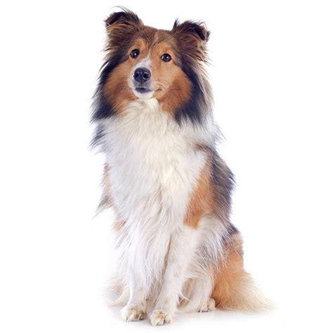 Shetland Sheepdog   Shetland Sheepdog Pet Insurance & Info
