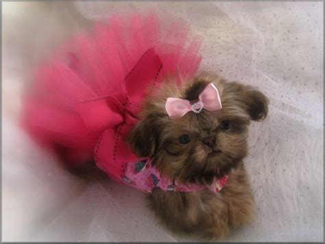 sweet tooth shih tzu best 25 imperial ideas on