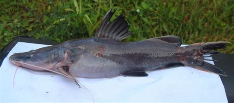 Pakan Ikan Hias Belida budidaya ikan baung mystus nemurus yusri azmi