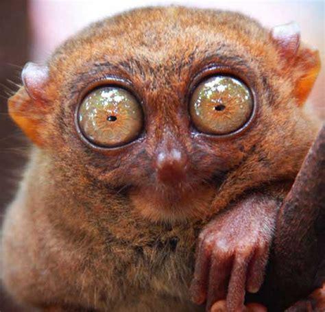 Big Eye gremlin or tasier tiny big eyed primate baby animal zoo