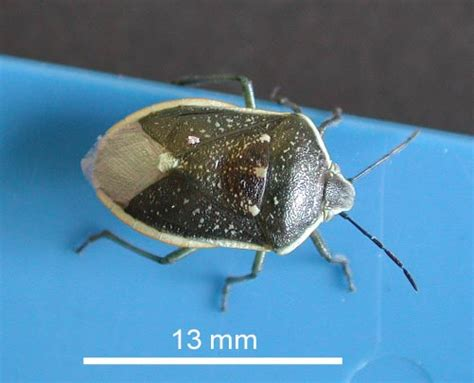 Common Backyard Bugs by Backyard Gardener True Bugs What Are They October 12