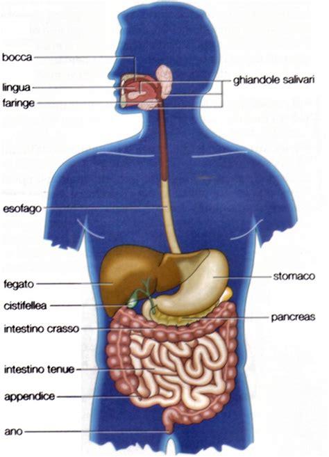 organi interni corpo umano addome apparato digerente anatomia umana appunti di scienze