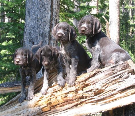 drahthaar puppies drahthaar puppies things