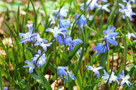blue flowers picture tiny flowers in bloom light colored gardening and gardens blue flowers what