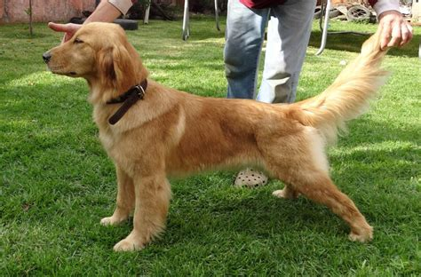 golden retriever pedigree cachorros golden retriever pedigree internacional 13 000 00 en mercado libre