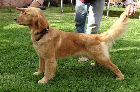 golden retriever pedigree database golden retriever con pedigree breeds picture