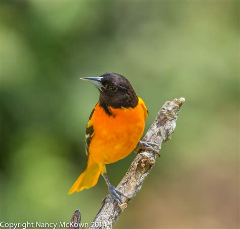 picture of a oriole bird setting up perches to photograph baltimore orioles in your backyard welcome to