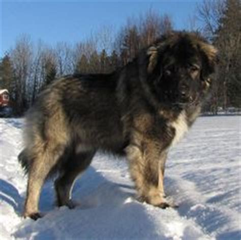 dogs used to hunt bears 1000 ideas about caucasian shepherd on caucasian mountain dogs