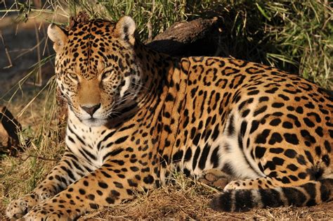rainforest animals jaguar facts related keywords suggestions for jaguar animal rainforest