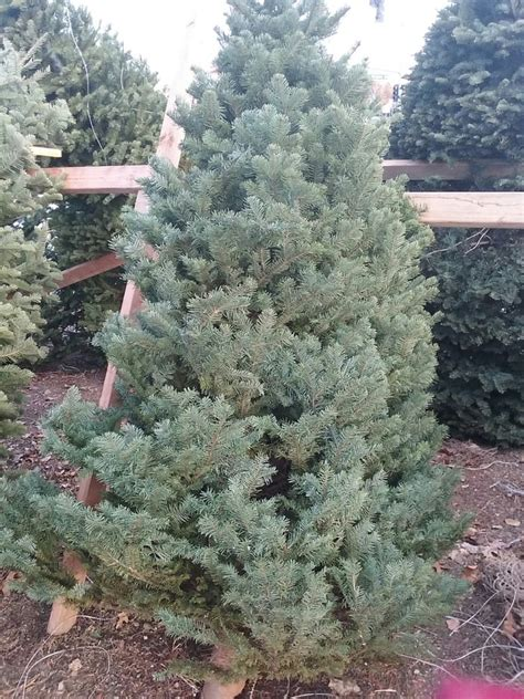 great healthy living christmas trees great and friendly