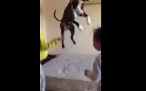 dog jumping on bed a cute pit bull dog jumping on bed with kids petsfans