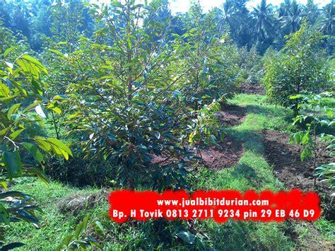 Bibit Pohon Durian Merah bibit durian montong bibit durian unggul durian bawor