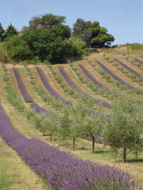 shelby michigan lavender maze 201 best images about l a v e n d e r lavande