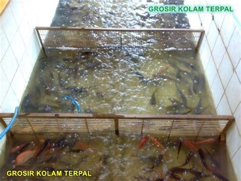 Jual Terpal Kolam Nila cara budidaya ikan nila di kolam terpal agro terpal