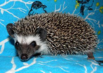 hedgehog colors hedgehog color guide hedgehogs of bloomington