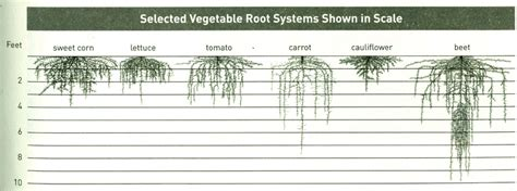 vegetable root depth outdoor gardening table ideas doityourself community