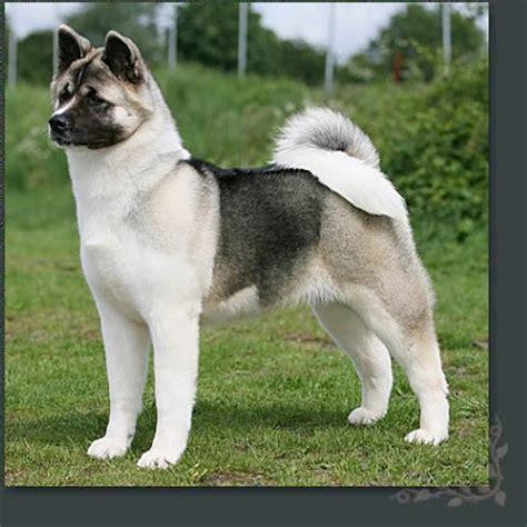 akita breed akita breed remarkable dogs