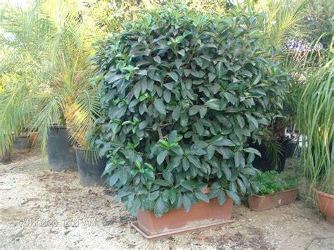 viburno in vaso viburnum lucidum in vaso vivaio meraviglie della natura