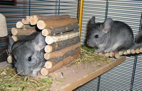 chinchillas  good pets  pictures