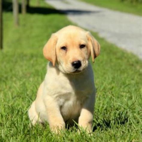 purebred lab puppies for sale labrador retriever yellow purebred puppy litters for sale in hoobly classifieds