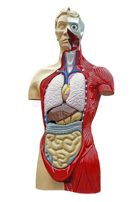 anatomia interna corpo umano anatomia corpo umano fotografia stock immagine di