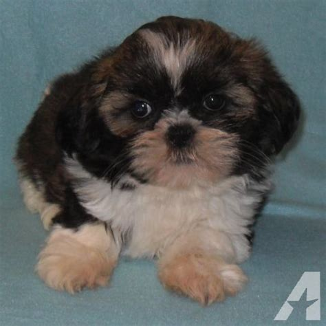 shih tzu breeders seattle standard akc shih tzu kenny for sale in seattle washington