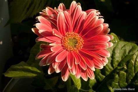 gerber daisies gerber daisy s grow your own subjects designerfied com