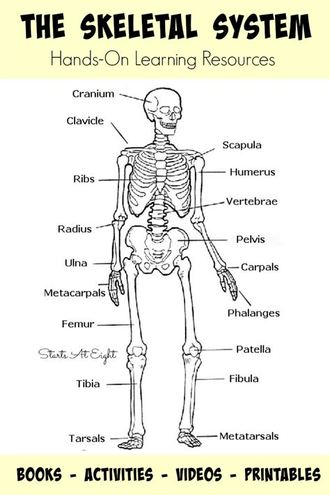 skeletal system the skeletal system on learning resources startsateight
