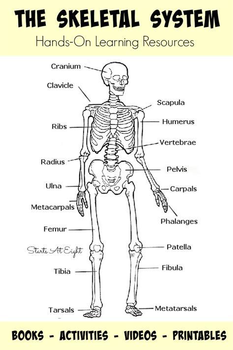 skeletal system diagram pdf the skeletal system on learning resources