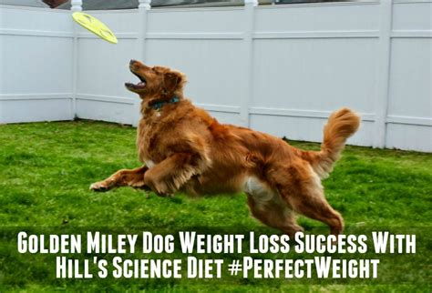 how much should a golden retriever puppy weigh golden miley weight loss success with hill s perfectweight golden woofs