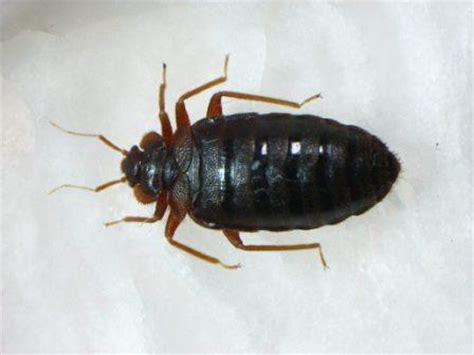 can bed bugs be black what bugs look like bed bugs dog breeds picture