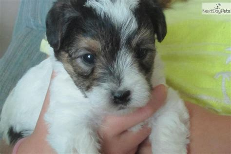 yorkie poo puppies for sale in nashville yorkiepoo yorkie poo puppy for sale near nashville tennessee e4519d63 3531
