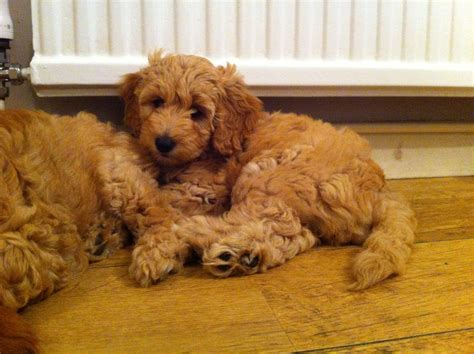Miniature Australian Labradoodle Oxted Surrey Pets4homes