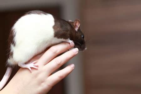 long  rats  pet  wild