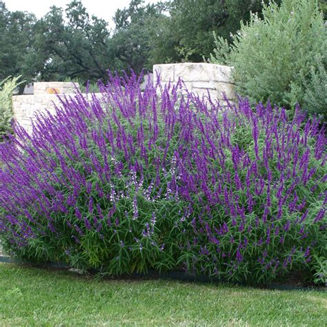 Flowering Shrubs Texas - sage mexican bush austintexas gov the official website of the city of austin