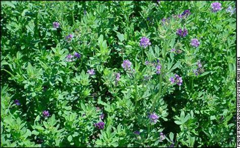 alfalfa images tips for grazing alfalfa